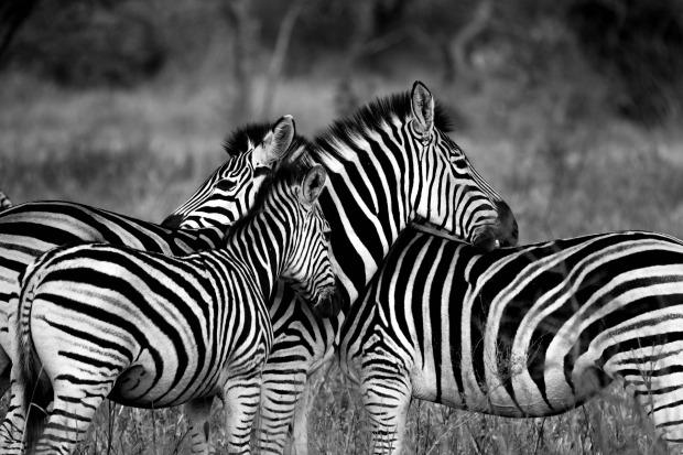 zebra-1141302_1920